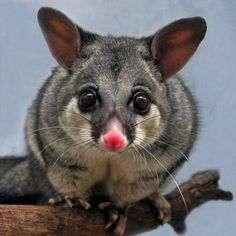 Australian possums are mainly herbivores but they are also known to eat birds eggs grubs and even small rats. They're considered a pest in many parts of Australia. Reptiles, Mammals, Australian Possum, Australian Birds, Cute Australian Animals, Australian Garden, Possum Facts, Cute Baby Animals, Animals And Pets