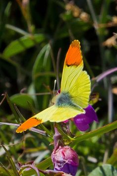Beautiful butterfly with yellow and orange colours