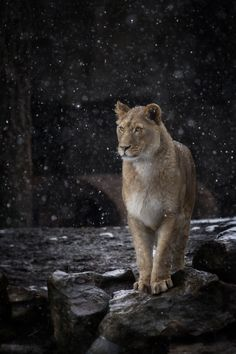Lion and the rain -- There's something hauntingly beautiful about this picture..