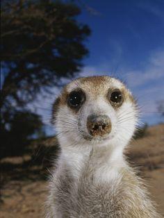 A Close View of an Adult Meerkat (Suricata Suricatta)  Isn't he cute..