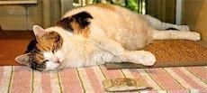 Molly enjoys a little post-catnip catnap.