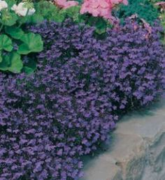Seme cveća: 190-LOBELIA PALAZZO DI CRISTALLO-9000 sem.