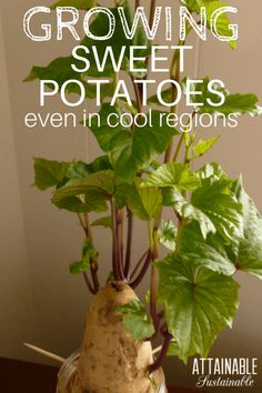 The trick to growing sweet potatoes in pots is to start early so you'll be ready to get them in the ground as soon as your soil is warm enough. Here's how to grow sweet potatoes on your little homestead's vegetable garden.