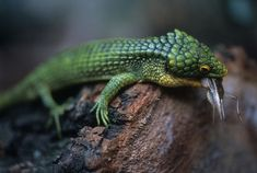 Arboreal alligator lizard for sale - Abronia graminea