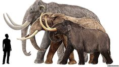 This sketch shows a Columbian mammoth, an African elephant, and an American mastodon (from back to front) next to a 6ft-tall human. Not all mammoths were gigantic, in fact the pygmy mammoth was the size of a large horse. Illustration by Velizar Simeonovski