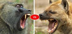 Baboon vs Hyena Fight