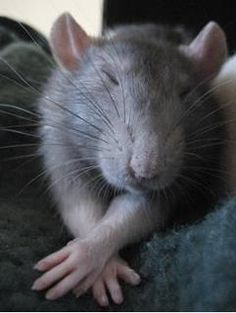 Young rat...how can anyone think they aren't cute?