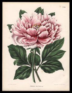 Henrik Witte 1868 Moutan Peony