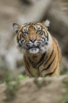 At the current rate, all wild tigers could be extinct in 5 years.   21 Gripping Tiger Facts for Global Tiger Day