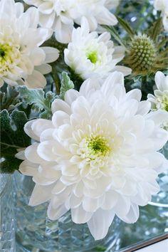 ~chrysanthemums~