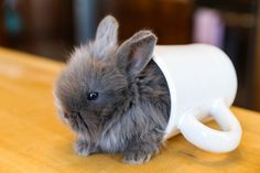 Bunny in a cup!