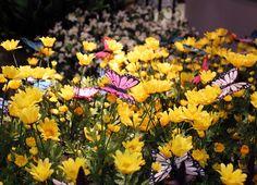 Farfalle e #margherite gialle.
