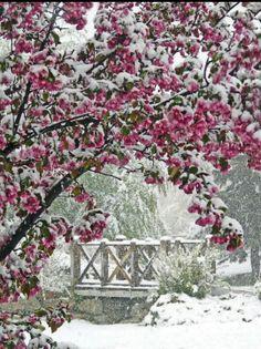 Apple Blossoms in the spring snow: Calgary, Alberta, Canada