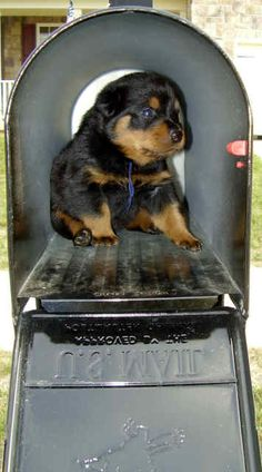 Guardian Rottweilers delivered my pups by plane but I would love to find a little puppy in my mailbox!