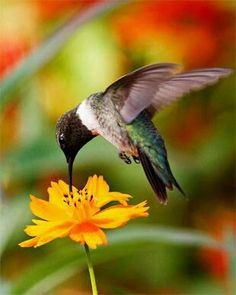 This great hummingbird photo is linked to an article that will teach you how to… Pretty Birds, Love Birds, Beautiful Birds, Animals Beautiful, Cute Animals, Animals Amazing, Pretty Animals, Hummingbird Photos, Hummingbird Painting