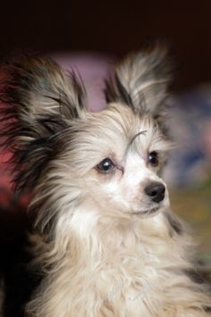 Easily license your photos through and our distribution partners to earn money for your work. Chinese Crested Powder Puff, Chinese Crested Dog, Cute Cats And Dogs, Adorable Dogs, Beautiful Dogs, Animals Beautiful, Ugly Dogs, Photo Animaliere, Pet Boarding