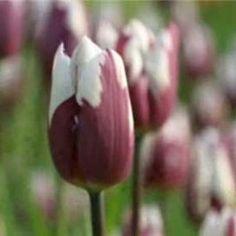 barrenwort Best Perennials, Hardy Perennials, Flowers Perennials, Impatiens Flowers, Hardy Plants, Perennial Geranium, Cranesbill Geranium, Lavender Flowers, Fall Flowers