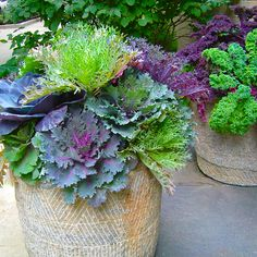 House Plant Maintenance Tips Ornamental And Edible Greens Are A Nice Addition To Fall Containers. In addition to the fact that They create A Strong Visual Impact, But They Flourish When Days And Nights Cool Down. Large Indoor Plants, Big Plants, Fall Planters, Large Planters, Outdoor Planters, Ceramic Planters, Container Plants, Container Gardening, Gardening Tips