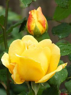 Golden Celebration  nice  color **+
