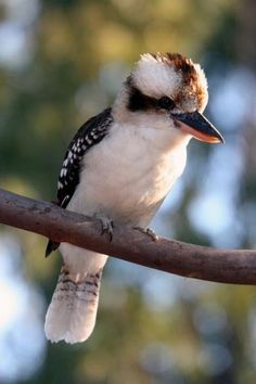 A kookaburra...cute hairdo.