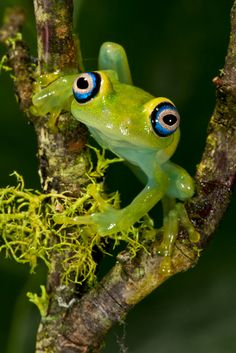 Boophis luteus Treefrog ~ By David Northcott