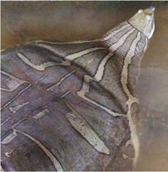 Asian narrow-headed softshell turtle (Chitra chitra) is a large species of softshell turtle in the Trionychidae family. This softshell turtle can reach a carapace length of 4.9 ft.. It is found in Indonesia, possibly Malaysia, and Thailand.