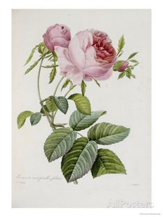 Rose Poster by Pierre-Joseph Redouté at AllPosters.com