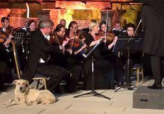 Que a audição canina é especialmente desenvolvida, isso todos sabem. Mas que alguns cães são capazes de refinar tal audição ao ponto de poderem apreciar a mais fina musica erudita, isso era novidade até a última apresentação da Orquestra de Câmara de Viena, em Eféso, na Turquia. A renomada orquestra se apresentava normalmente no 31º Festival Internacional de Izmir, quando um cachorro, sem qualquer medo do público, roubou a cena ao adentrar o palco como um astro, se aproximar de um violinista…