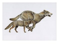 Extinct dog ancestor Eucyon, and today's gray wolf. Giclee Print at Art.com
