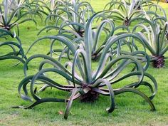 Octopus Century Plant (Agave)