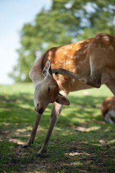 deer #japan #nara