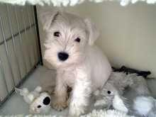 Archie, white mini schnauzer.  Pedlars 105th Dog of the Week.