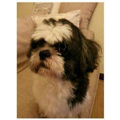 Pepper!! #shihtzu#dog#family#philippines#シーズー#犬#フィリピン