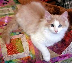 pretty cat on a quilt.