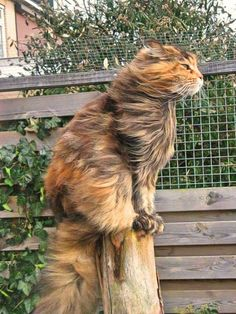 Maine Coon…