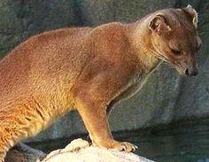 Cryptoprocta ferox classification of animals