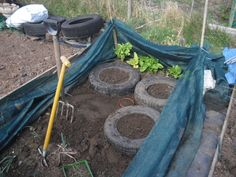 Potatoes are grown in tyres this year because the bed is smaller than last year's one, and I'm doing the rotation plans.  I'll get some free tyres from a local shop to stack up when they start growing.