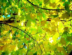 art of photography / CANOPY. Looking up through a summer-to-fall maple leaf tree canopy. Maple Leaf Tree, Tree Leaves, October Road, Different Points Of View, Acrylic Painting Flowers, Tree Canopy, Tree Photography, Walk In The Woods, Holiday Time