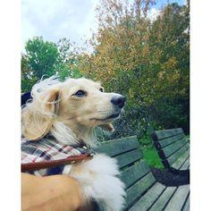 秋のかほりクンクンクン🍠🍁✨#autumn #fall #秋 #紅葉 #dachshund #minidachshund #minituredachshund #creamdachshund #mydog #dog #ダックス #ダックスフント #ダックスフンド #ミニチュアダックス #ミニチュアダックスフント #愛犬 #クリームダックス #犬 #dogstagram #犬バカ部 #doglover #petstagram #dogoftheday #ilovemydog #短足部 #instadog #dachshundoftheday #kinako #きなこ