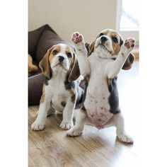 Are you interested in a Beagle? Well, the Beagle is one of the few popular dogs that will adapt much faster to any home. Whether you have a large family, p Cute Dogs And Puppies, I Love Dogs, Pet Dogs, Doggies, Baby Dogs, Baby Puppies, Photos Of Puppies, Labradoodle Puppies, Aussie Puppies