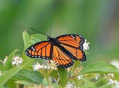 Looks like a Monarch Butterfly, but it isn't!