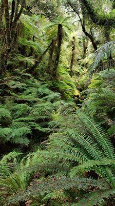 Amazing rainforest full of ferns, along the Copeland Track on the West Coast of New Zealand. Rainforest Trees, Tree Fern, Fern Plant, Kiwiana, South Island, Pacific Ocean, Ferns, West Coast, New Zealand