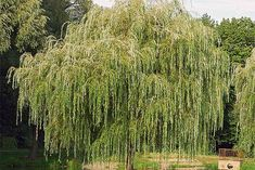 A wide spectrum of trees fits the bill for fast-growing, shade-providing staples in the yard. Read this guide to find the perfect trees for your yard. Fast Growing Shade Trees, Growing Tree, Backyard Trees, Backyard Landscaping, Arbor Day Foundation, Privacy Trees, Arbour Day, Weeping Willow, Home Garden Design
