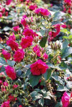 F.J. Grootendorst Rose (Rosa rugosa 'F.J. Grootendorst') at Salisbury Greenhouse and Landscaping