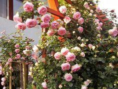 'Eden Rose 85' Rose Photo