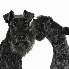kerry blue terrier photo | Kerry Blue Terrier - 15 Hypoallergenic Dogs and Cats - Health.com