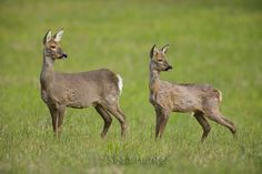 Roe deer doe and young in a field left fallow Deer Species, Roe Deer, Animals Of The World, Oceans, Cool Photos, Hunting, Wildlife, Puppies, Drawings
