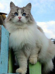 Blue Lynx Bicolor