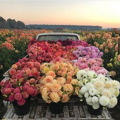 Tonight in the dahlia field, playing with the abundance before it's gone. This view never gets old. Most Beautiful Flowers, Pretty Flowers, Big Flowers, Spring Flowers, Natur Wallpaper, Fond Design, Flower Aesthetic, Flower Market, Belleza Natural