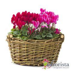 piante di ciclamini | Vendita Cestino di Ciclamini. Consegna fiori a domicilio ...